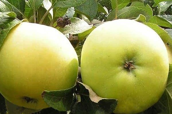 яблоня свойства