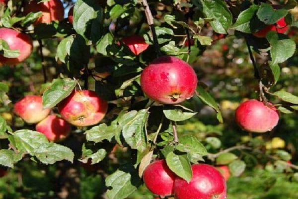 яблонной моли
