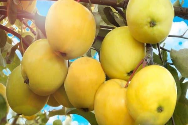 фруктовых деревьев