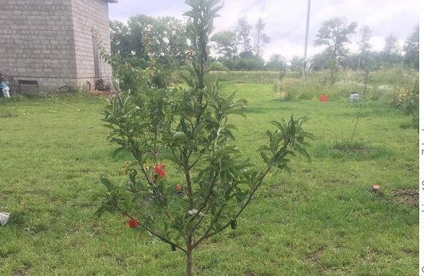 плохо растет яблоня