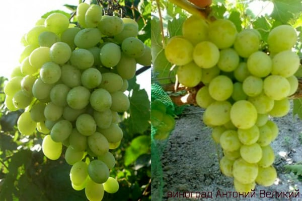 виноград анатолий великий