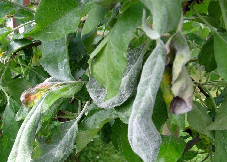 мучистая роса на яблони