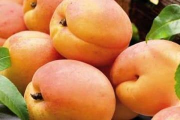 абрикос харгранд