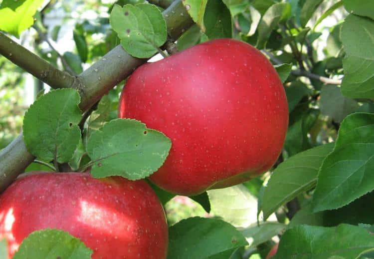 яблони ауксис
