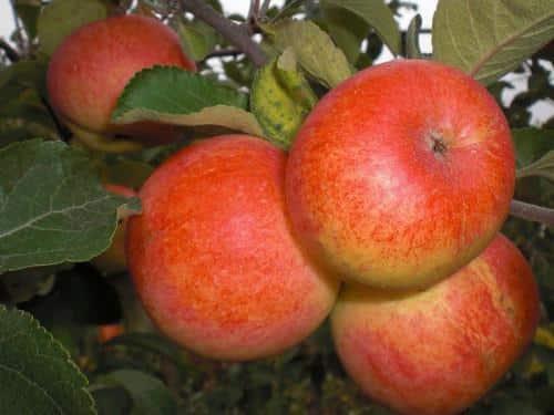 яблоня горнист