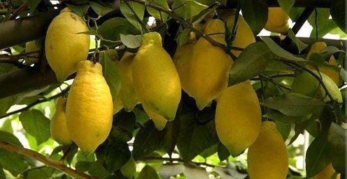 лимон лунарио
