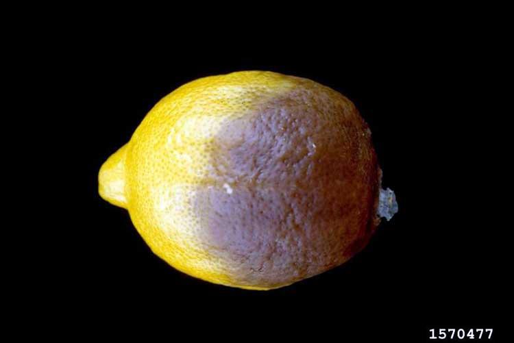 Фитофтороз цитрусовых