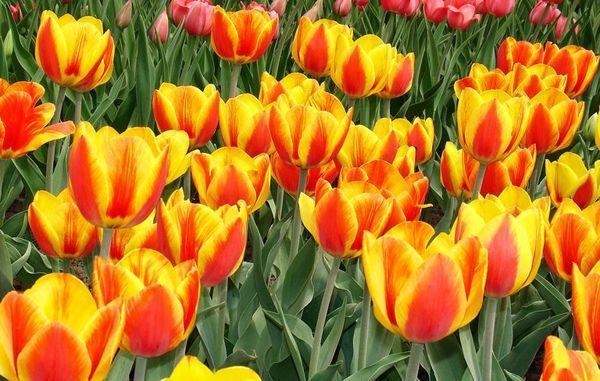 апельдорн тюльпан