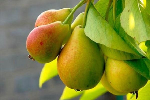 груша фруктовая