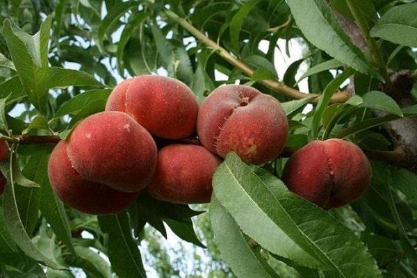 фруктовая культура