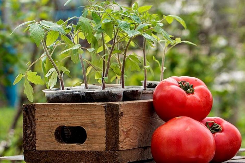 рассада помидора