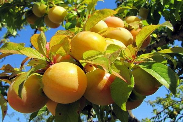 желтые ягодки