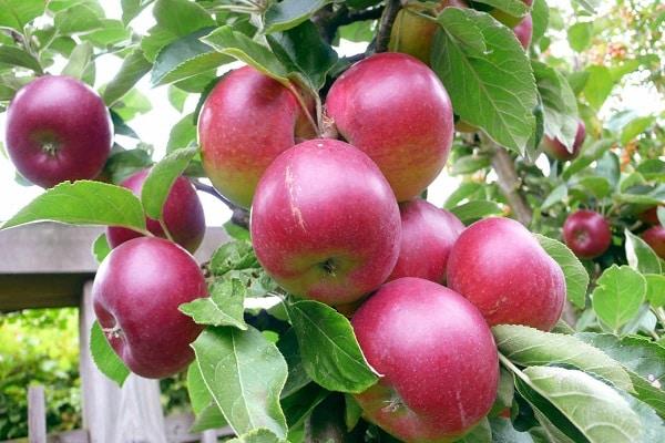 гроздь яблони