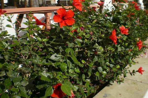клумбовые растения