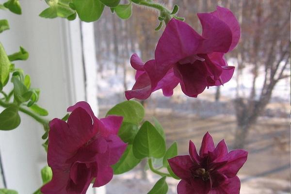 петуния на окне