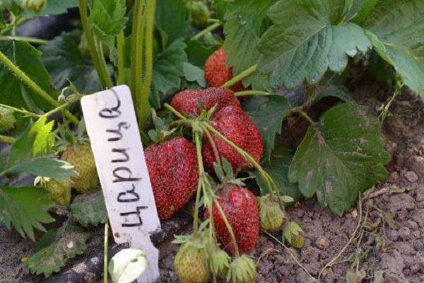 ягода плодоносить