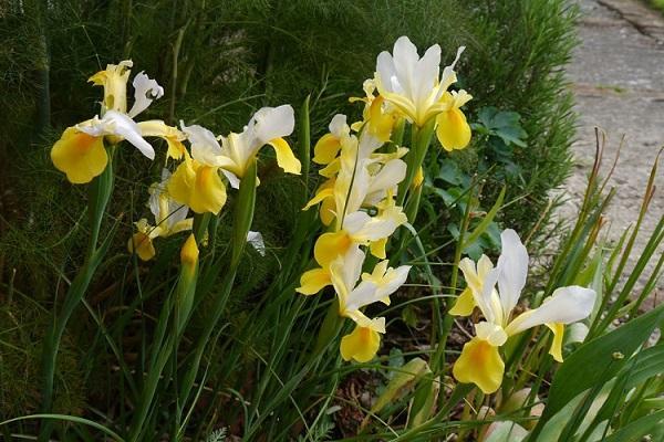желтое цветение