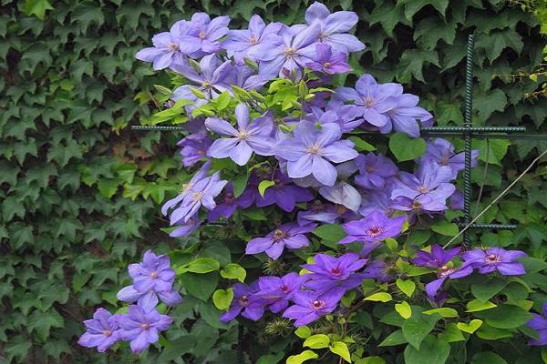 цветки на побегах