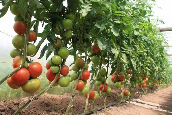 растущие овощи
