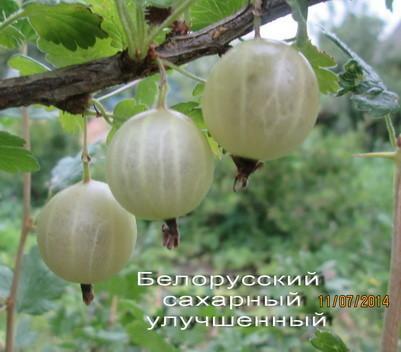 крыжовник белорусский сахар