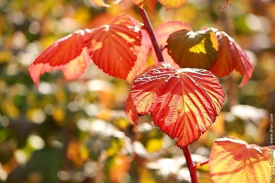 краснеют листья