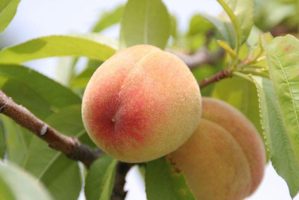 киевский персик