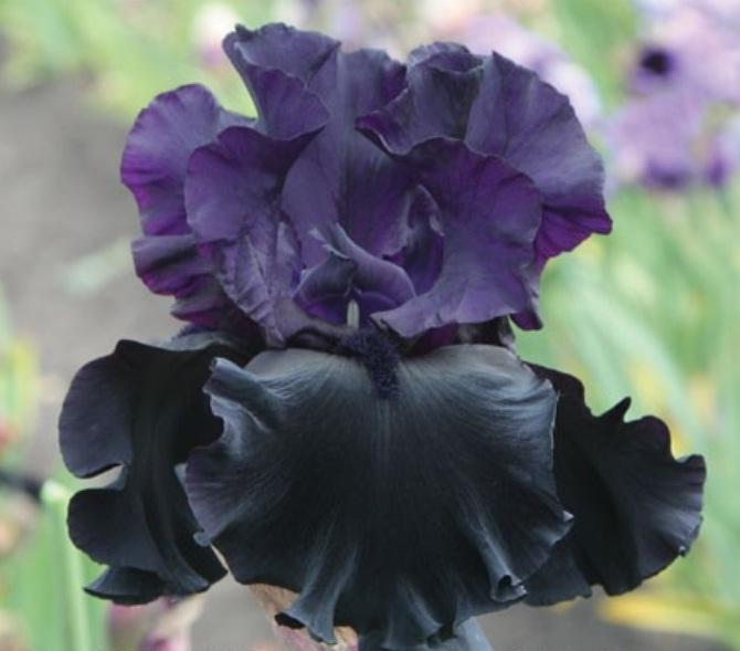 Черные ирисы