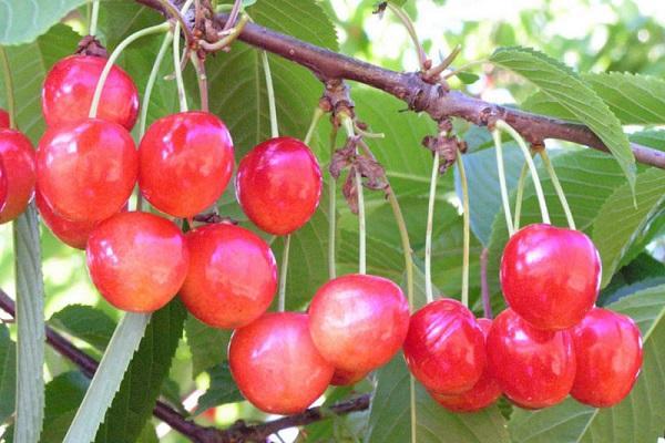 грозди ягод