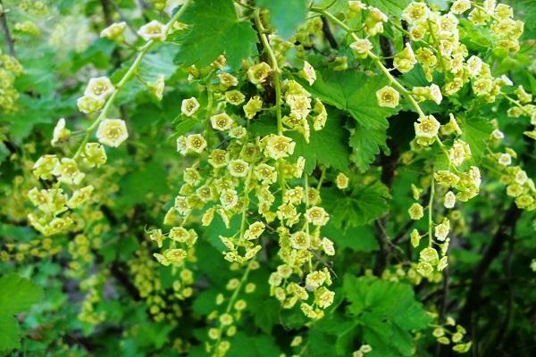 цветет смородина