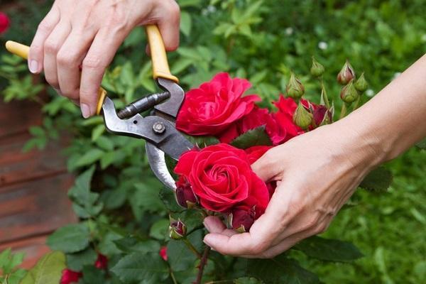 обрезать розы