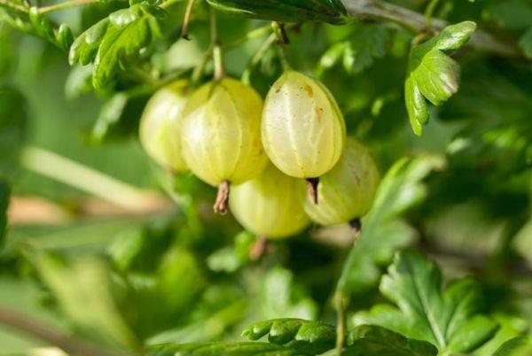 Битоксибациллин от паразитов