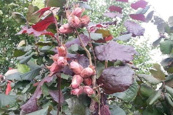 розовый орех