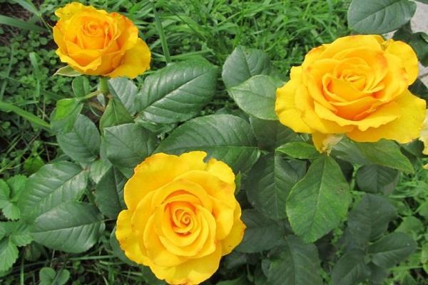 розы керио