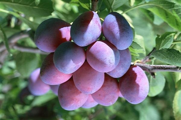 свисает гроздь