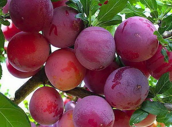 фрукт слива