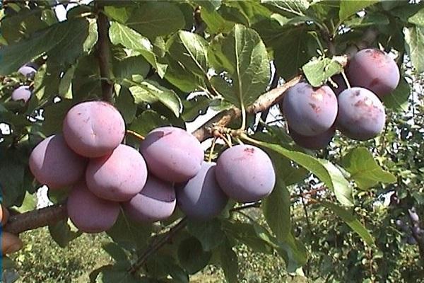 выращивания фрукта