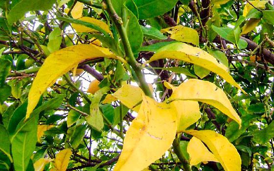 желтею листья
