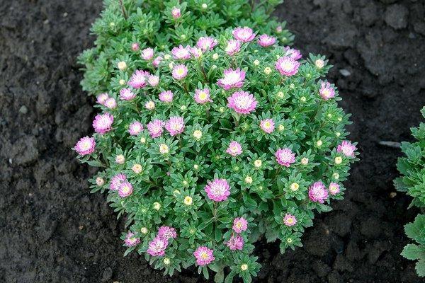 цветы на клумба