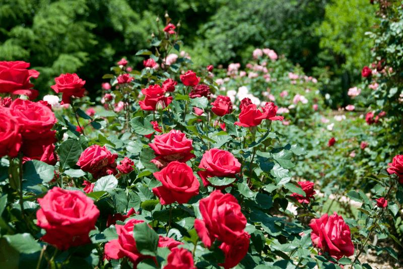 алея роз
