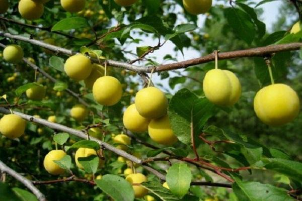 размер фруктов