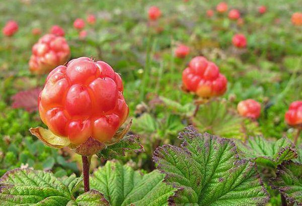 Применение чудо-ягоды
