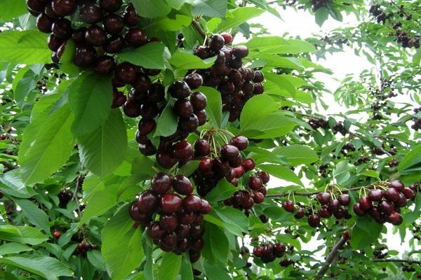 плодоносить после цветение