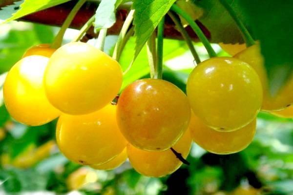 яркие ягодки