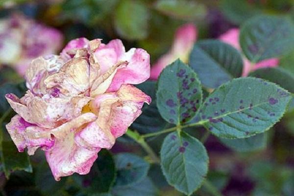 роза с болезнями