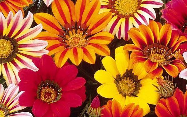 Цветы Гацании