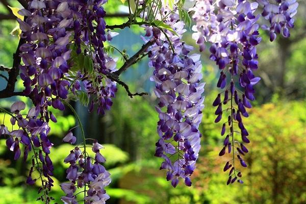 цветение куста