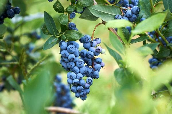 сочная гроздь
