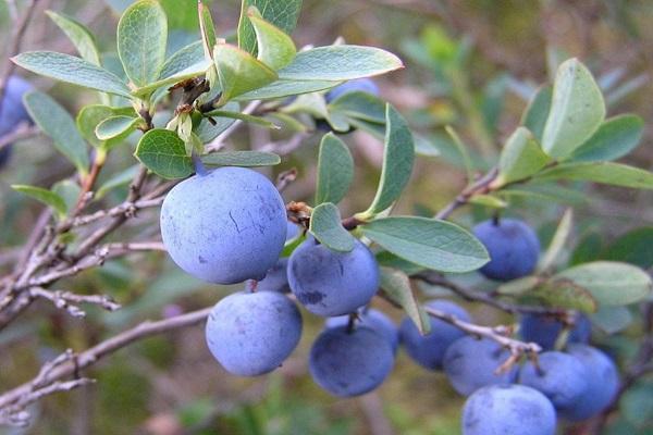 зимний плод