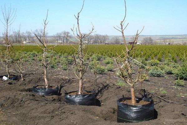 высажены деревья