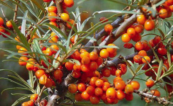 дерево облепиховое
